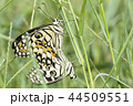 Butterfly couple mating in nature 44509551