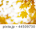 yellow maple leaves in autumn with beautiful sunlight 44509730