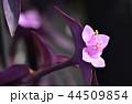 セトクレアセア(紫御殿) 44509854