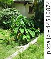 フィジー 観光 ビセイセイ村の風景 タロイモ 44510874
