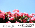 薔薇 バラ アンジェラの写真 44512827
