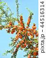 ピラカンサ ピラカンサス 常盤山樝子の写真 44516314