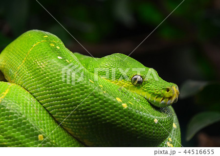 Green tree python profile portrait close up 44516655