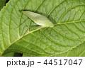 ヒメクダマキモドキ 44517047