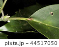 ヒラヤマシマバエ 44517050