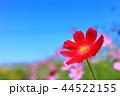 秋 花 コスモスの写真 44522155