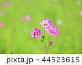 花 コスモス 植物の写真 44523615