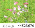 花 コスモス 植物の写真 44523670