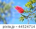 花穂 花 ブラシノキの写真 44524714