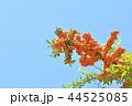 ピラカンサ ピラカンサス オレンジ色の写真 44525085