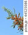 ピラカンサ ピラカンサス オレンジ色の写真 44525086