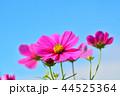 コスモス畑と青空 44525364