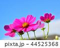 コスモス畑と青空 44525368