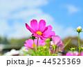 コスモス畑と青空 44525369
