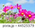 コスモス畑と青空 44525379