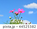 コスモス畑と青空 44525382