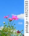 コスモス畑と青空 44525383