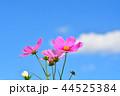 コスモス畑と青空 44525384