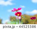 コスモス畑と青空 44525386