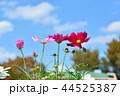 コスモス畑と青空 44525387