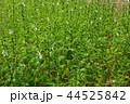 ごま農園の胡麻の花 44525842