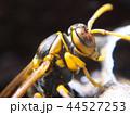 セグロアシナガバチ アシナガバチ ハチの写真 44527253
