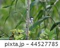ハシブトガラ 嘴太雀 鳥の写真 44527785