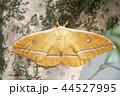 ヤママユガ ガ 昆虫の写真 44527995