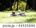 チワワ 犬 小型犬の写真 44535690