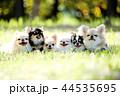 チワワ 犬 小型犬の写真 44535695