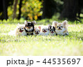 チワワ 犬 小型犬の写真 44535697