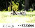 チワワ 犬 小型犬の写真 44535699