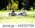 チワワ 犬 小型犬の写真 44535700