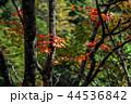 紅葉 木 木々の写真 44536842