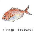 鯛 魚 水彩画のイラスト 44539851