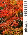 紅葉 もみじ 葉の写真 44544545