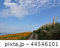 コスモス すすき 秋の写真 44546101