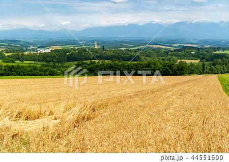 上富良野の麦畑 44551600