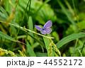 蝶 蝶々 昆虫の写真 44552172