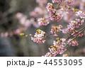 河津桜とメジロ 44553095