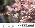 河津桜とメジロ 44553096