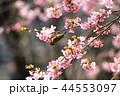 河津桜とメジロ 44553097
