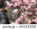 河津桜とメジロ 44553098