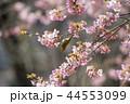 河津桜とメジロ 44553099