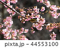 河津桜とメジロ 44553100