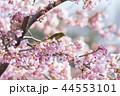 河津桜とメジロ 44553101