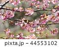 河津桜とメジロ 44553102