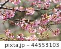河津桜とメジロ 44553103
