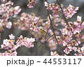 桜とメジロ 44553117