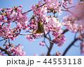 桜とメジロ 44553118